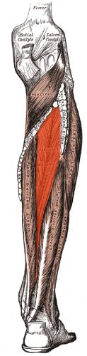 Tibialis_posterior